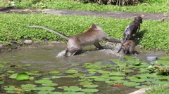 Monkeys bathe and play in pond in Bali. Sacred Monkey Forest, Ubud, Indonesia Stock Footage