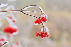 Red berries of Viburnum in the frost on a branch Stock Photos