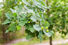 Oak branch with acorns and leaves in forest Stock Photos
