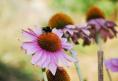 Echinacea Purpurea with Bee - stock photo