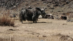 Yaks Graze On The Mountain Pasture - stock footage