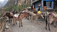 Mules Nepal - stock footage