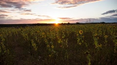 Flowering sunflowers on a background sunset, timelapse Stock Footage
