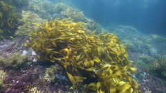 Kelp swirling in current underwater Stock Footage