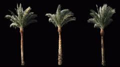 3 blowing on the wind beautiful green full size real tropical palm trees Stock Footage