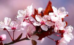 White with red flowers of the cherry blossoms on a spring day in the park Stock Photos