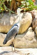 Profile of Great Blue Heron standing on flat rock - stock photo