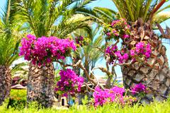 Palm trees with purple Bougainvillea flowers in front of  beach umbrellas and Stock Photos