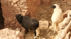 Sheeps in the yard of Morocco village Stock Footage