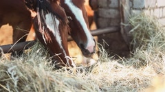 Horses eating hay on the farm closeup Stock Footage