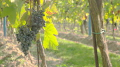 Hanging grapes at eye level Stock Footage