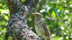 Summer. Bird thrush on the tree looks around and chirps. Stock Footage