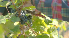 Wine Grape Harvest Stock Footage