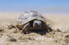 Testudo hermanni tortoiseon a white isolated background beach Stock Photos