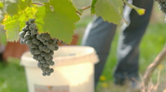 Wine Grape Harvested, up look Stock Footage