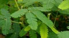 Mimosa plant Stock Footage