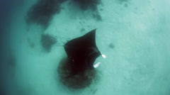 Manta Ray Swimming Over Seafloor Stock Footage
