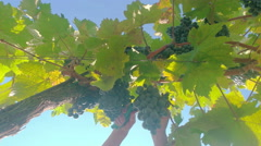 Down look of grapes being harvested Stock Footage