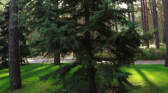 Pine trees in park Stock Footage