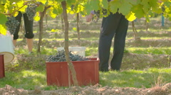 Slowly panning around people in the vineyard Stock Footage