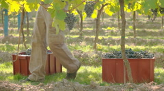 Man grabing boxes with harvested vine, side view Stock Footage