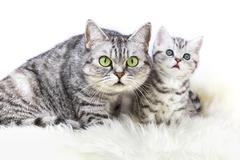 Mother silver tabby cat with young kitten Stock Photos