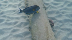 Blue and yellow fish near pipe in clear Red Sea water Egypt Stock Footage