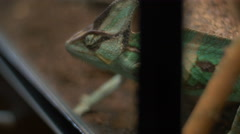 View of Chameleon sneaking around Stock Footage