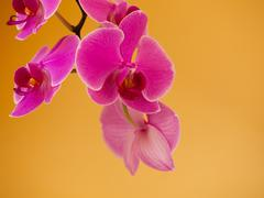 Stock Photo of Phalaenopsis. Pink purple orchid flower indoor.