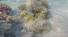 Shallow reef with fish and coral in clear Red Sea water Egypt Stock Footage