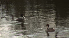 Great crested Grebe in lake England Stock Footage