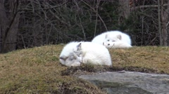 Resting Arctic Foxes Stock Footage