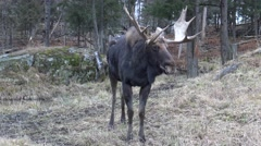Moose Stock Footage