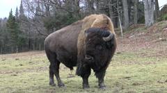 Buffalo Stock Footage