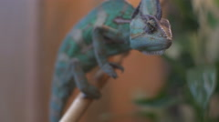 Close up view of Chameleon stalking  Stock Footage