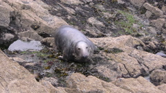 Lone Grey Seal Stock Footage