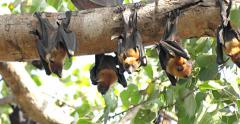 Fruit Bats Hanging Upside Down Stock Footage