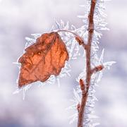 Leaf Covered in Hoarfrost Stock Photos