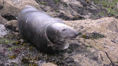 Resting Grey Seal Arkistovideo
