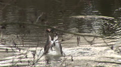 Courtship of great crested Grebe Stock Footage