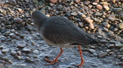Wader birds on mud estuary redshank Stock Footage