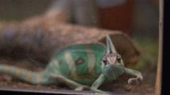 Chameleon yearning freedom. Stock Footage