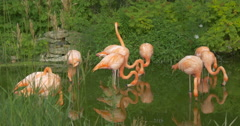 Flamingos drinking water from the lake at African Lion Safari, Hamilton Stock Footage
