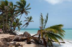 Fallen down Palm Tree in the wind on caribbean white sand beach coast under blue - stock photo