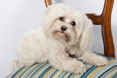 Portrait of cute maltese dog on the chair inside - stock photo