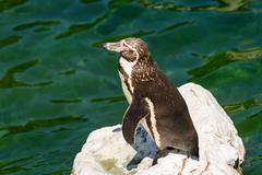 Solitary Magellanic Penguin On A Rock Surrounded By Water - stock photo