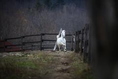 Running white horse Stock Photos