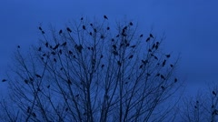Birds Silhouettes Are Sitting on a Branches of a Bush Blast Off and Flap Their Stock Footage