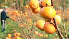 Persimmon trees, sharon fruits Stock Footage