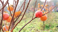 Farmer picking japanese persimmon Stock Footage
